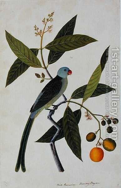 Bua Romania, Boorong Bayam, from 'Drawings of Birds from Malacca', c.1805-18 by Anonymous Artist - Reproduction Oil Painting