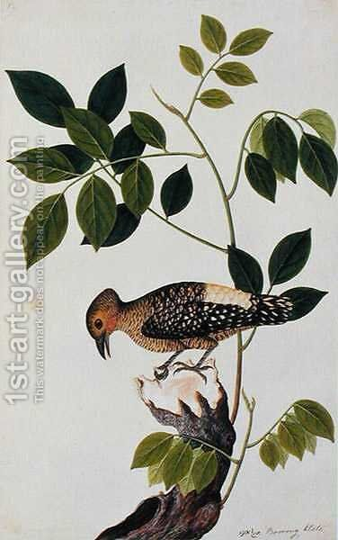 Boorong Klato, from 'Drawings of Birds from Malacca', c.1805-18 by Anonymous Artist - Reproduction Oil Painting