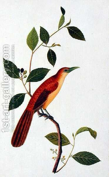 Boorong Seliah, from 'Drawings of Birds from Malacca', c.1805-18 by Anonymous Artist - Reproduction Oil Painting