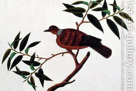 Turtle Dove, Tookoo-Kore, from 'Drawings of Birds from Malacca', c.1805-18 by Anonymous Artist - Reproduction Oil Painting