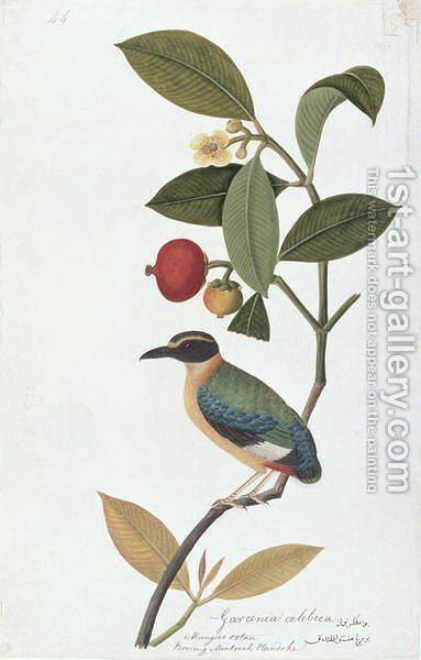 Garcinia celebica, Mangies ootan, Bourong Mentooah Plandoka, from 'Drawings of Birds from Malacca', c.1805-18 by Anonymous Artist - Reproduction Oil Painting