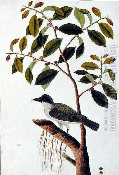 Poko Jabie Jabie, Boorong Sie-aras, from 'Drawings of Birds from Malacca', c.1805-18 by Anonymous Artist - Reproduction Oil Painting