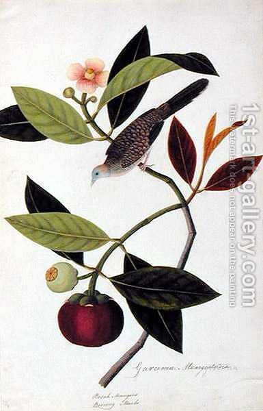 Garcinia Mangastana, Booah Mungies, Boorong Murbo, from 'Drawings of Birds from Malacca', c.1805-18 by Anonymous Artist - Reproduction Oil Painting
