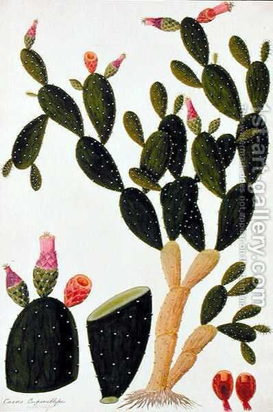 Liedah Badah, Cardasse Cochenille, from 'Drawings of Plants from Malacca', c.1805-18 by Anonymous Artist - Reproduction Oil Painting