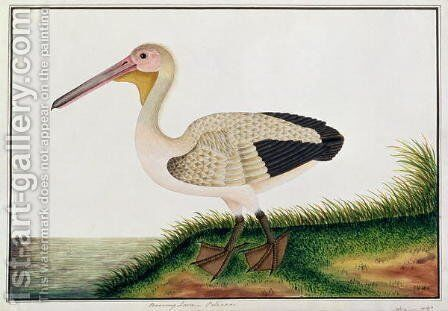 Pelican, Boorong Java, from 'Drawings of Birds from Malacca', c.1805-18 by Anonymous Artist - Reproduction Oil Painting