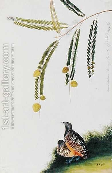 Quails, Booah Malacca, Boorong Poo-eeoh, from 'Drawings of Birds from Malacca', c.1805-18 by Anonymous Artist - Reproduction Oil Painting