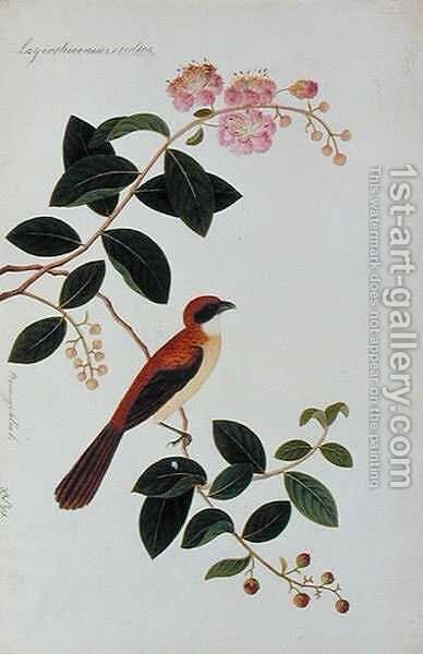 Boorong Seliah, Lagerstroesnia indica, from 'Drawings of Birds from Malacca', c.1805-18 by Anonymous Artist - Reproduction Oil Painting