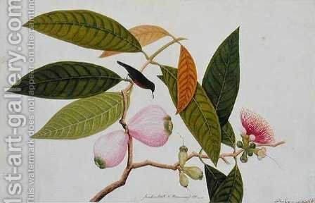 Jamboo, Boll and Humming Bird, from 'Drawings of Birds from Malacca', c.1805-18 by Anonymous Artist - Reproduction Oil Painting