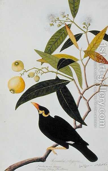 The Miena, Jamboo ai-ere Mawar Boorong Teong and Gracila Religiosa, from 'Drawings of Birds from Malacca', c.1805-18 by Anonymous Artist - Reproduction Oil Painting