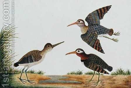 Great Snipe, Boorong Berbie, from 'Drawings of Birds from Malacca', c.1805-18 by Anonymous Artist - Reproduction Oil Painting