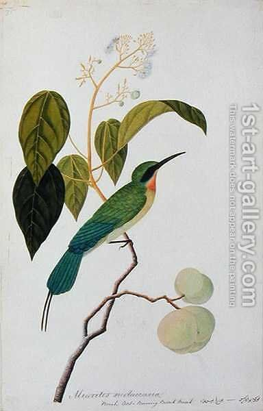 Aleurites Moluccana, Booah Cras, Boorong Bierik Bierik, from 'Drawings of Birds from Malacca', c.1805-18 by Anonymous Artist - Reproduction Oil Painting