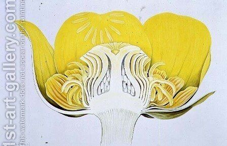 Drawing 8-2 Nuphar luteum (Yellow Waterlily) 1906 by Arthur Henry Church - Reproduction Oil Painting