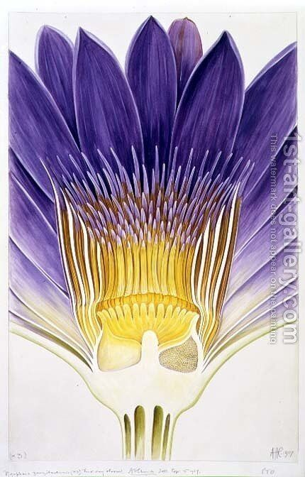 Drawing 8-7 Nymphaea capensis var. zanzibariensis (Cape Blue Water-Lily) 1907 by Arthur Henry Church - Reproduction Oil Painting