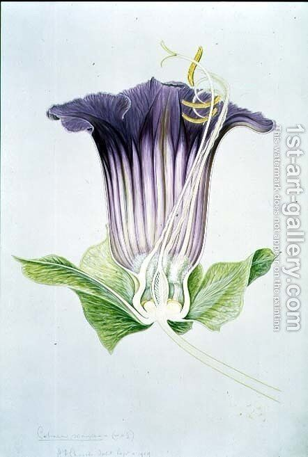 Drawing 110-1 Cobaea scandens (Cup and Saucer Vine) 1909 by Arthur Henry Church - Reproduction Oil Painting