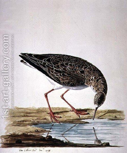 Curlew Sandpiper by Charles Collins - Reproduction Oil Painting