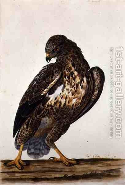 The Common Buzzard  1739 by Charles Collins - Reproduction Oil Painting
