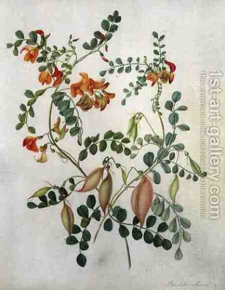 Colutea Arbordscens Media by Matilda Conyers - Reproduction Oil Painting