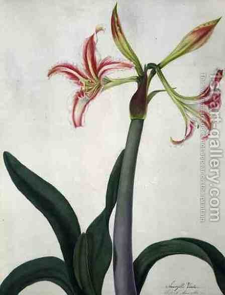 Amaryllis Vitata by Matilda Conyers - Reproduction Oil Painting