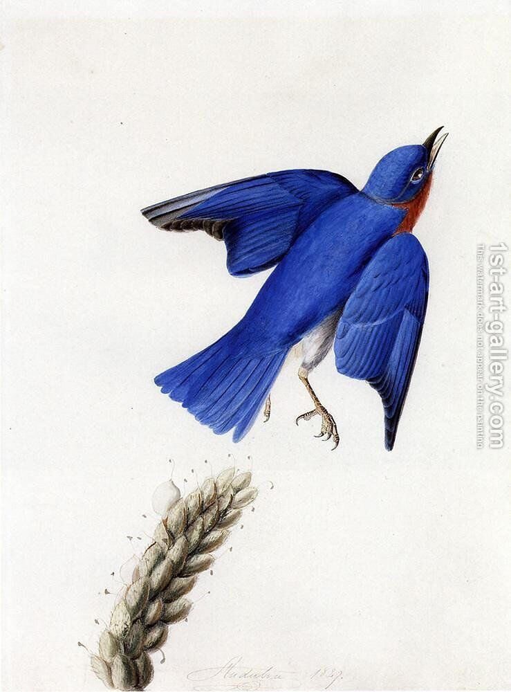 Eastern Bluebird Painting By John James Audubon Reproduction 1st Art Gallery