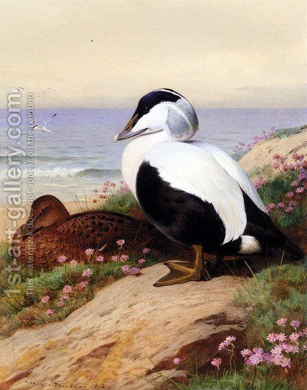 Common Eider Ducks by Archibald Thorburn - Reproduction Oil Painting