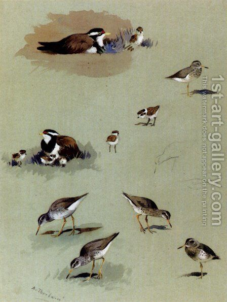 Study of sandpipers, cream-coloured coursers and other birds by Archibald Thorburn - Reproduction Oil Painting