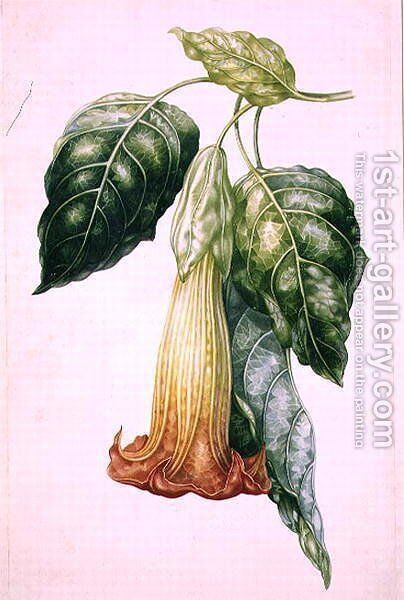 Thorn Apple flower from Ecuador, Datura rosei by Augusta Innes Withers - Reproduction Oil Painting