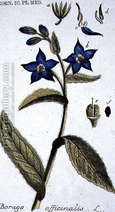 Borago officinalis Borage engraved by T. S. Leitner, plate 147, illustration from the Plate Collection of the Botany Library by B Thanner - Reproduction Oil Painting