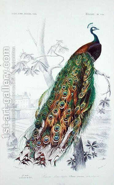 The Peacock, illustration from Le Dictionnaire dHistoire Naturelle by Charles dOrbigny, engraved by A. Fournier by Edouard Travies - Reproduction Oil Painting
