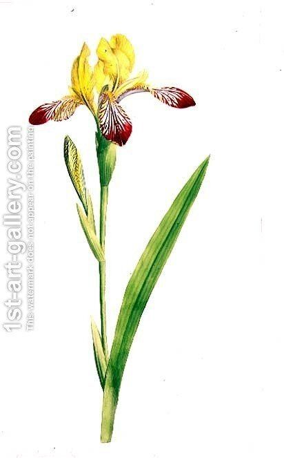 Iris Variegata, c.1800 by James Sowerby - Reproduction Oil Painting