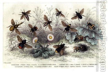 Study of different bees, engraved J. Bishop by J. Stewart - Reproduction Oil Painting