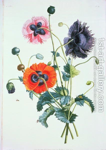 Poppies from Collection des fleurs et Fruits, 1805 by Jean Louis Prevost c.1760-1810 by Jean-Louis Prevost - Reproduction Oil Painting