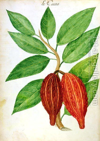 Cacao, from a manuscript on plants and civilization in the Antilles, c.1686 by Charles Plumier - Reproduction Oil Painting