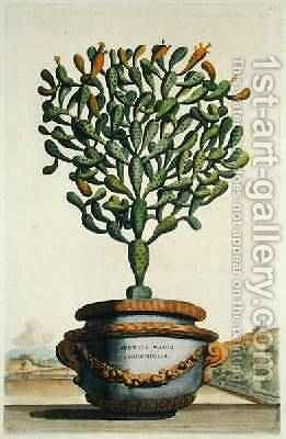 Opuntia Maior Augustifolia from Phytographia Curiosa by Abraham Munting - Reproduction Oil Painting