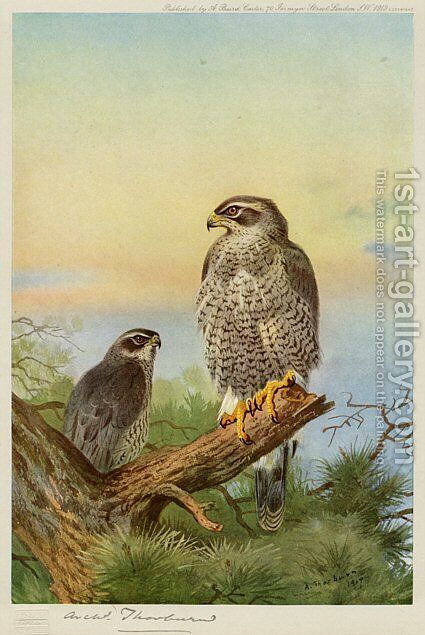 Goshawk by Archibald Thorburn - Reproduction Oil Painting