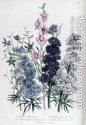 Delphiniums plate 3 from The Ladies Flower Garden by Jane Loudon - Reproduction Oil Painting
