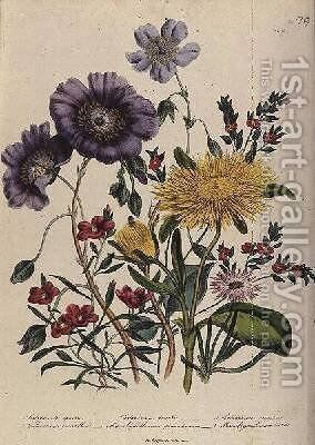 Calandrinia plate 18 from The Ladies Flower Garden by Jane Loudon - Reproduction Oil Painting