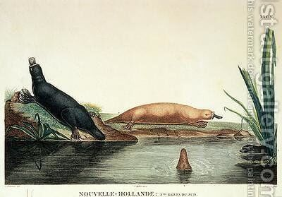 Duck-billed platypi of New South Wales by (after) Lesueur, Charles Alexandre - Reproduction Oil Painting