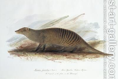 Mungos fasciatus by Edward Lear - Reproduction Oil Painting