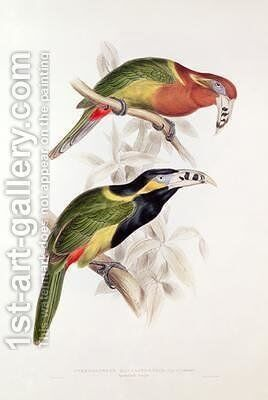 Spotted Bill Aracari by Edward Lear - Reproduction Oil Painting