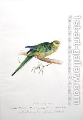 Stanley Parrakeet Platycercus icterotis by Edward Lear - Reproduction Oil Painting