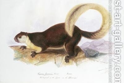 Sciurus javensis Screb by Edward Lear - Reproduction Oil Painting