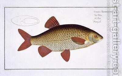 Red Carp Cyprinus Erithrophthalmus by Andreas-Ludwig Kruger - Reproduction Oil Painting