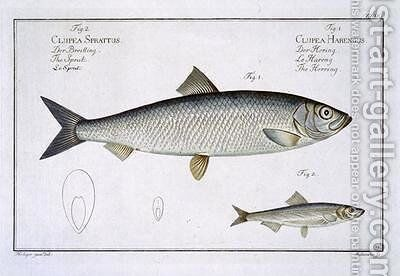 Herring Clupea Harengus by Andreas-Ludwig Kruger - Reproduction Oil Painting