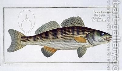 Pike Perch Perca lucioperca by Andreas-Ludwig Kruger - Reproduction Oil Painting
