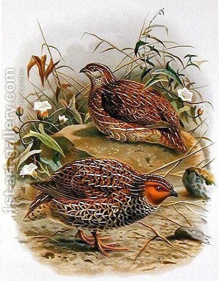 New Zealand Quail by Johan Gerard Keulemans - Reproduction Oil Painting