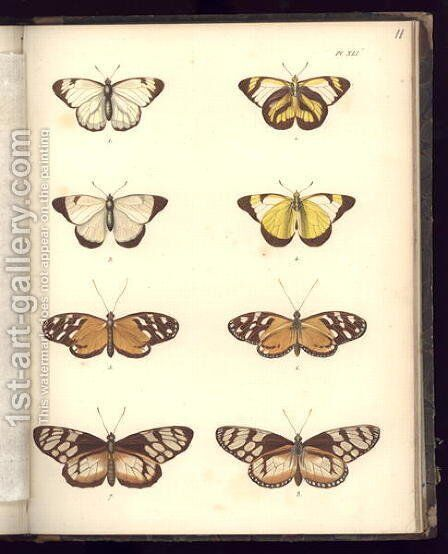 Lepidoptera by (after) Humboldt, Friedrich Alexander, Baron von - Reproduction Oil Painting
