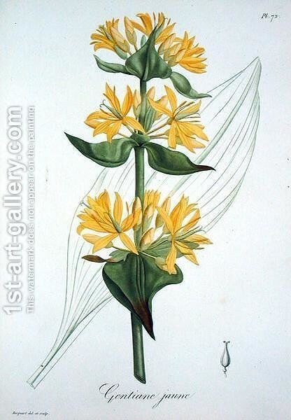 Yellow Gentian from Phytographie Medicale by L.F.J. Hoquart - Reproduction Oil Painting