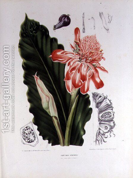 Elettaria Speciosa by (after) Hoola van Nooten, Berthe - Reproduction Oil Painting