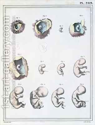 Diagram showing the stages of embryonic development, from Manuel dAnatomie Descriptive du Corps Humain by (after) Haincelin - Reproduction Oil Painting