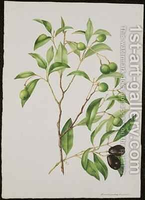 Green and Black Olives Endiandra sieber by Adam Forster - Reproduction Oil Painting